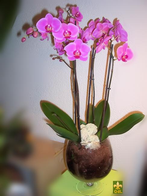 Plante de Phalaenopsis dans vase transparent